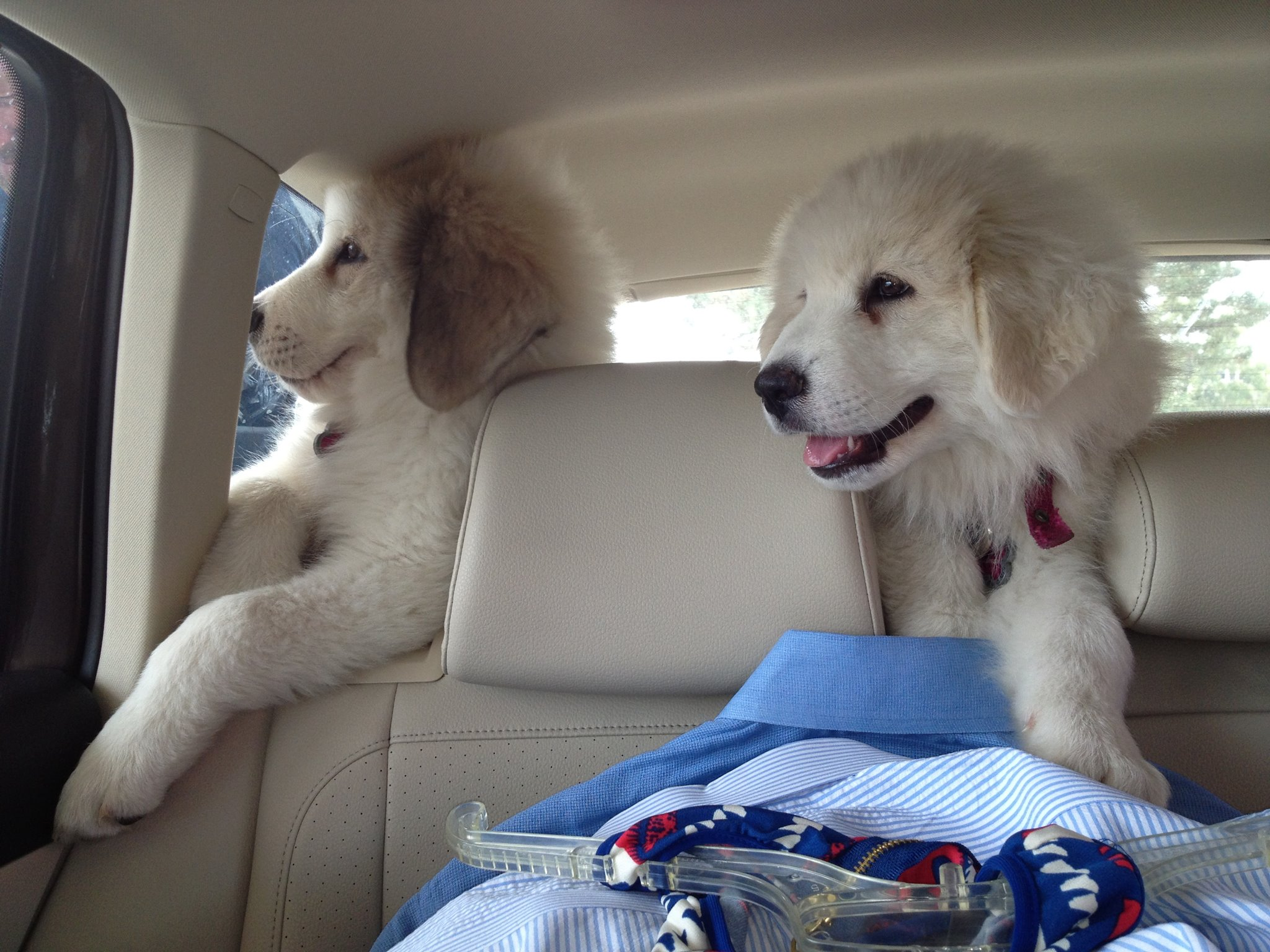 Dogs in Cars - Brent Burmaster