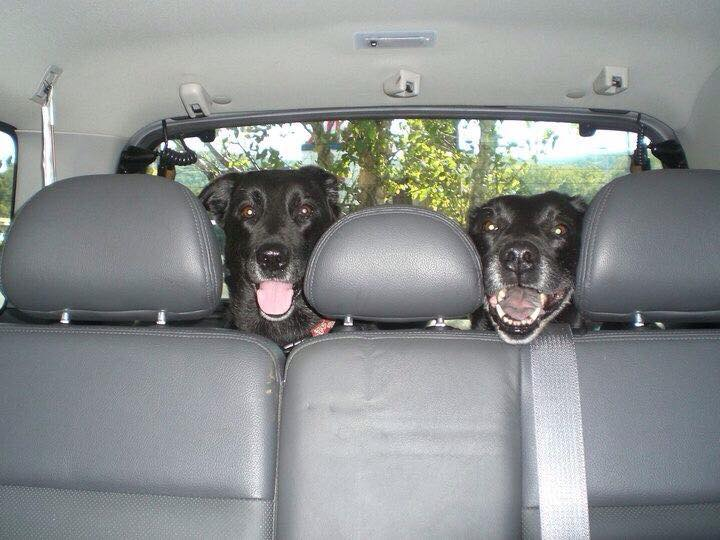 Dogs in Cars - Norma T Mayo